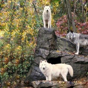 Волки Нью-Йорка